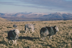 Herdwick Sheep CC Natural England
